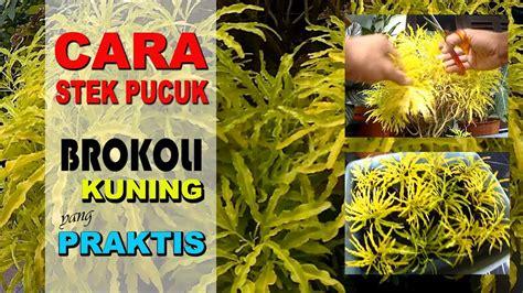 tanaman brokoli kuning tanaman hias daun