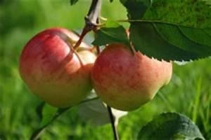 Wann Apfelbäume Schneiden : apfelbaum beschneiden anleitung zeitpunkt wann ~ Lizthompson.info Haus und Dekorationen