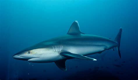 Images Of Sharks Mesmerizing Footage Of Sharks Encoding