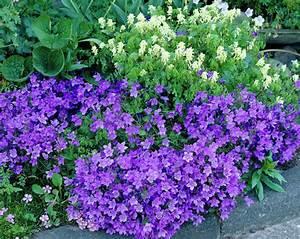 Wall bellflower • Campanula portenschlagiana • Dalmation ...