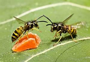 Kupfer Gegen Wespen : duftgeranien gegen wespen helfen sie wirklich ~ Watch28wear.com Haus und Dekorationen