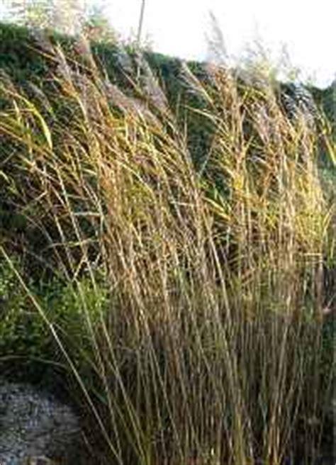 Schilfrohr Phragmites Australis Garten Schilf Schneiden