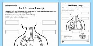 The Human Lungs Activity Sheet