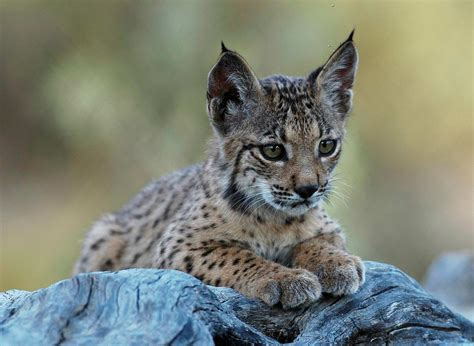 lynx cat iberian endangered conservation programme wwf most