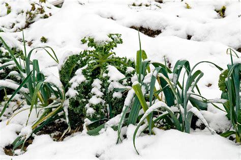 growing seeds in winter growing leeks bonnie plants