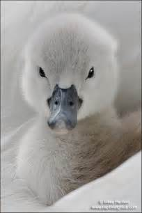 Cute Baby Ducks and Swans