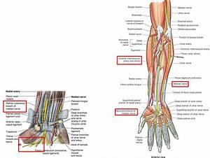 Wrist Muscle Anatomy