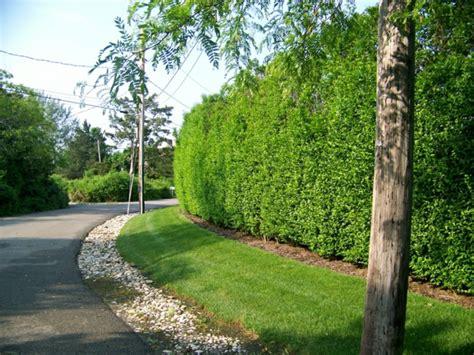 Sichtschutz Im Garten Gestalten Pflanzen Pflegen by Sichtschutz Im Garten Ligusterhecke Pflanzen Und Pflegen
