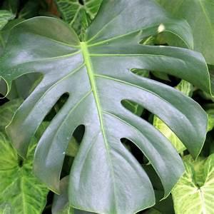 Plantes Et Jardin : philodendron monstera plantes et jardins ~ Melissatoandfro.com Idées de Décoration