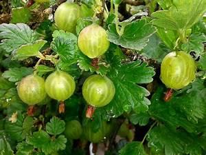 Sträucher Mit Weißen Beeren : stachelbeeren pflanzen und ernten garten mix ~ Whattoseeinmadrid.com Haus und Dekorationen