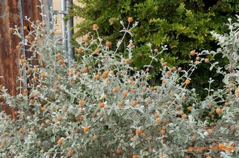 buddleia marrubifolia wooly butterfly bush zona gardens