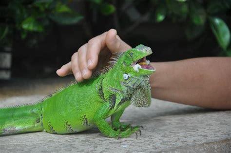 iguana pet i pet an iguana picture of le chateau aruba oranjestad tripadvisor