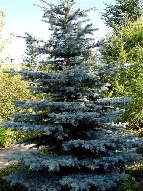 blue spruce colorado spruce info how to grow a colorado blue spruce tree