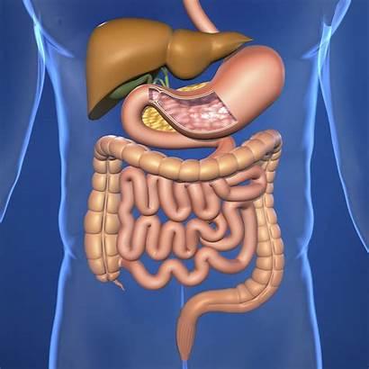 Digestive System Human Ks2 Children Help Ks1