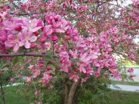 What Does Crabapple Tree Look Like