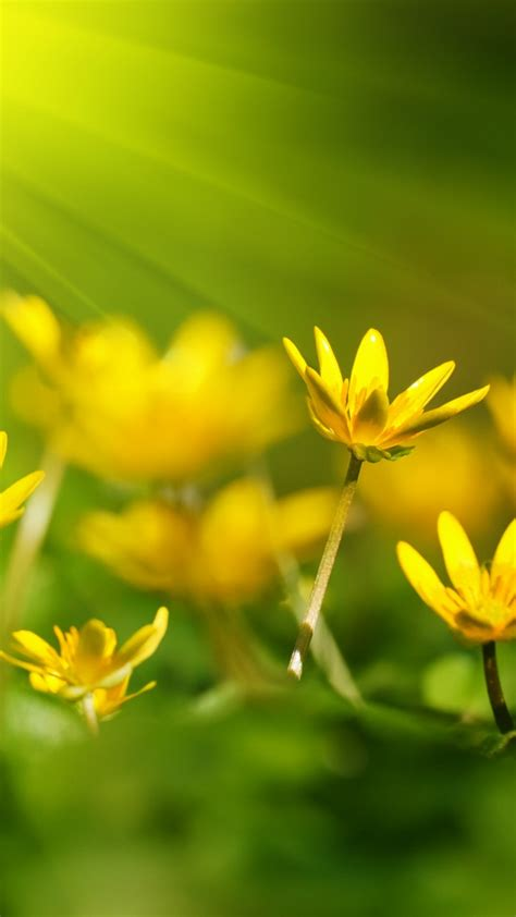 wallpaper flowers   wallpaper  sunray yellow