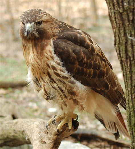 red tailed hawk  door zoo