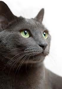 gray cat breeds katelyn pressley apd 242 project color