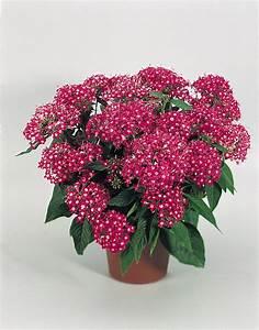 Pentas lanceolata, New Look® Rose, Annual   Benary