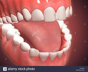 Medical Illustration Of Human Mouth Open  Showing Teeth