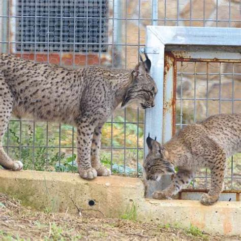 lynx iberian facts species wild they laurent guide found