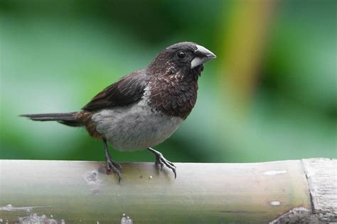 white rumped munia wikipedia