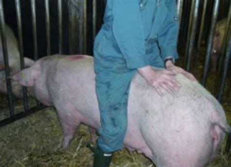 heat ls for pigs effective heat detection the pig site