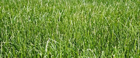 fescue grass all you need to know about tall fescue
