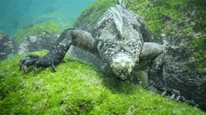 Lizard Monster Giant Swimming Marine Iguanas Ocean