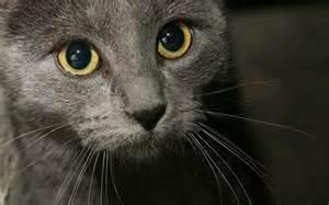 grey cat wallpaper 1409