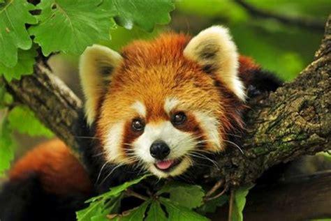 mozilla firefox guida al browser del panda rosso