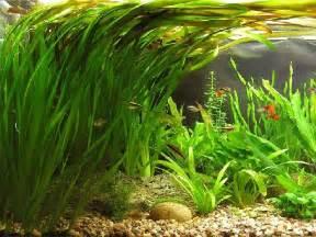 plant pots for sale vallisneria caresheet aquatic mag