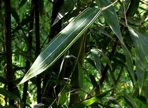 Bambus Braune Blätter : bambus katalog ~ Frokenaadalensverden.com Haus und Dekorationen