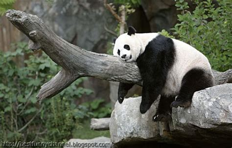 Cute And Funny Pictures Of Animals 67 Pandas 6