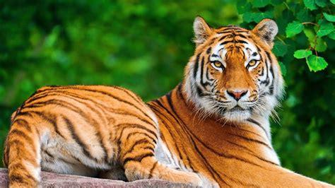 alipore kolkata zoo india hd bengal tiger leopard
