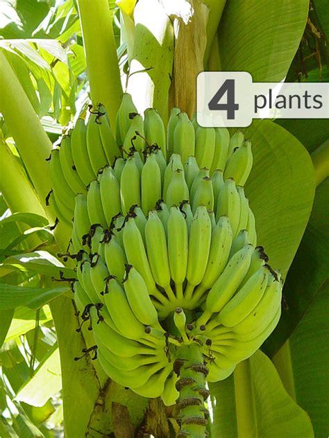 banana java ice cream trees