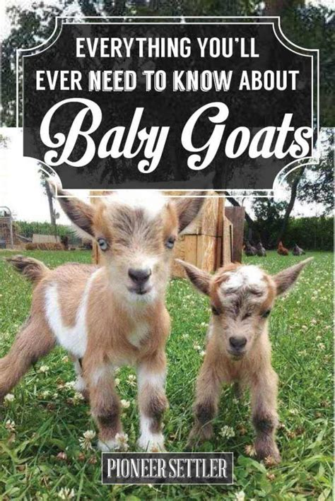 how to raise goats how to raise a baby goat to grow up big strong homesteading