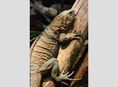 Jamaican iguana Wikipedia