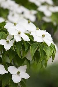 Baum Mit Weißen Blüten : hartriegel pflege pflanzen schneiden und vermehren ~ Michelbontemps.com Haus und Dekorationen