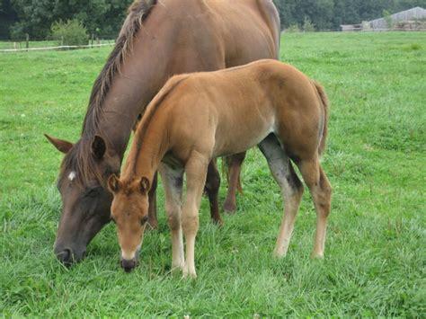 horse quarter origin american history horses care tips facts description
