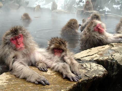 hot springs  japan  monkeys relax  day