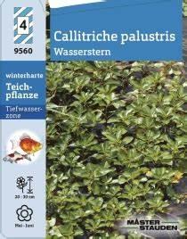 Welche Pflanze Produziert Am Meisten Sauerstoff : callitriche palustris wasserstern winterharte stauden f r lebendige g rten ~ Frokenaadalensverden.com Haus und Dekorationen
