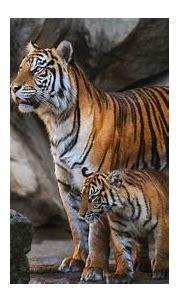 Tiger Is Walking On Road Near Body Of Water 4K 5K HD ...