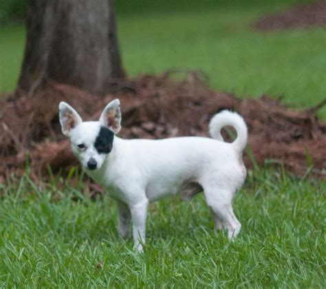 Filealert Chihuahua  Jpg Wikimedia Commons