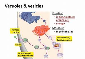 Vacuoles And Lysosomes