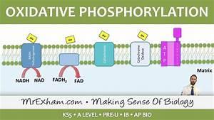 Cellular Respiration - Oxidative Phosphorylation