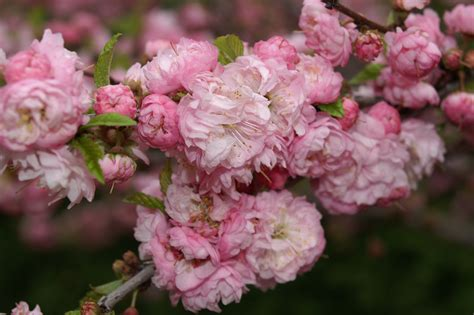 flowering almond pink flowering almond lookup beforebuying