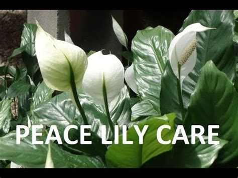 how to care for lilies indoors peace lily how to care indoor house plant spathiphyllum best indoor houseplant youtube