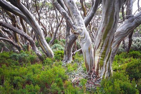 varieties  eucalyptus trees green  vibrant