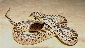 The gallery for --> Gopher Snake Baby